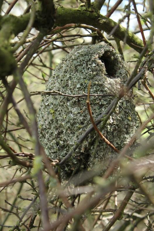 Aegithalos caudatus, long-tailed tit, nest