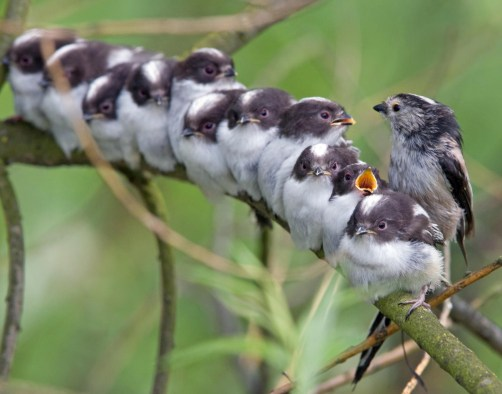 A group of young long-tailed tits, Aegithalos caudatus