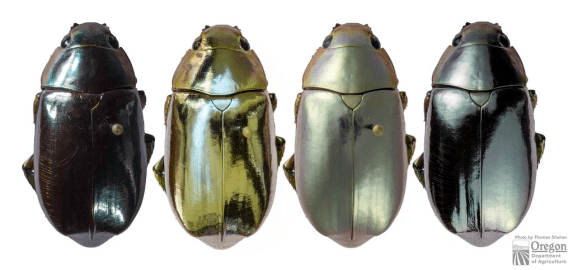 Chrysina species by Thomas Shahan for Oregon Dept of Agriculture.