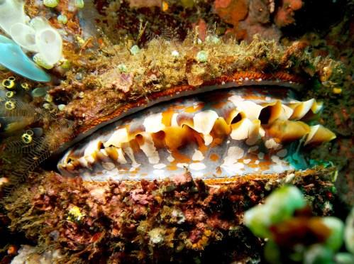 Spondylus varius in Lembeh Strait, Indonesia