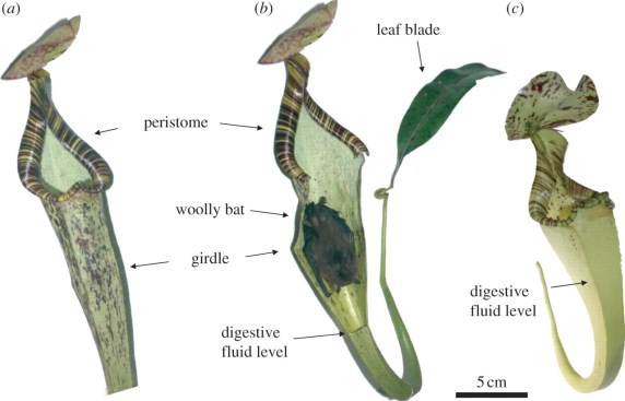 ervice benefit provided by N. r. elongata to K. h. hardwickii. (a) Aerial pitcher of N. rafflesiana var. elongata. (b) The same pitcher with the front tissue removed to reveal a roosting Hardwick's woolly bat. (c) The shorter aerial pitcher of N. rafflesiana variety typica. Credit: T. Ulmar Grafe, et. al.