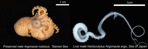 Male argonaut and hectocotylus detailed scientific photographs.