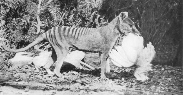 Henry Burrell's manufactured thylacine predation photo