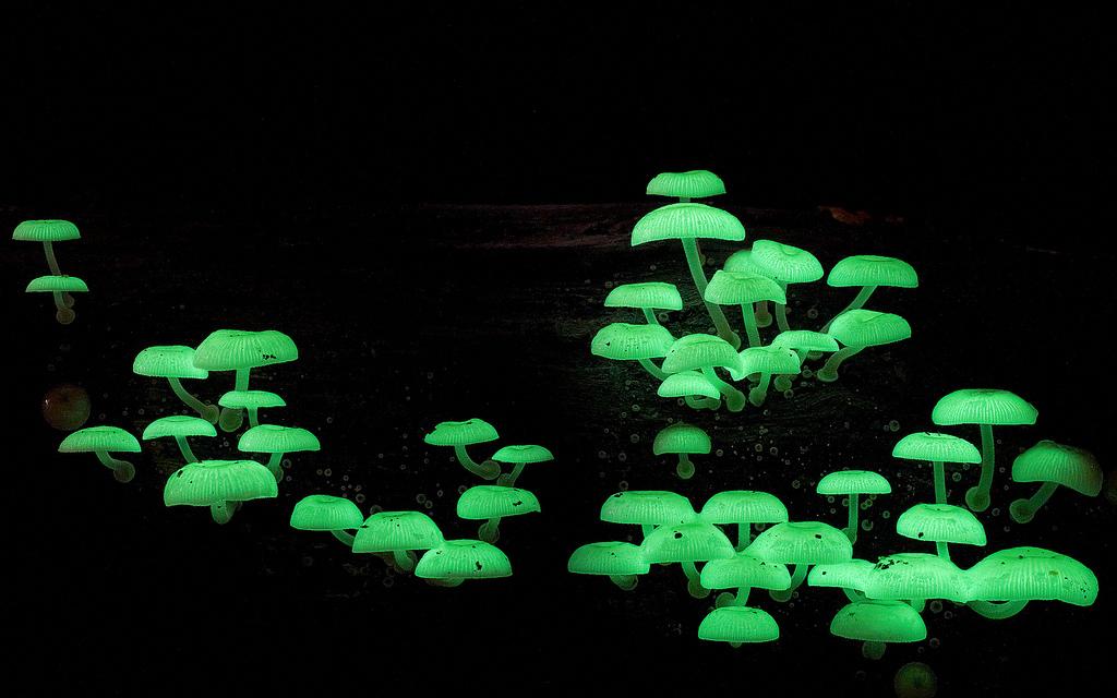 Mycena chlorophos bioluminescent fungi against a dark background