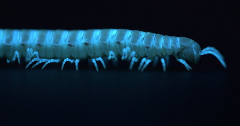 Motyxia sequoiae millipede displaying bioluminescence while walking in the dark.