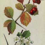 Hawthorn Branch