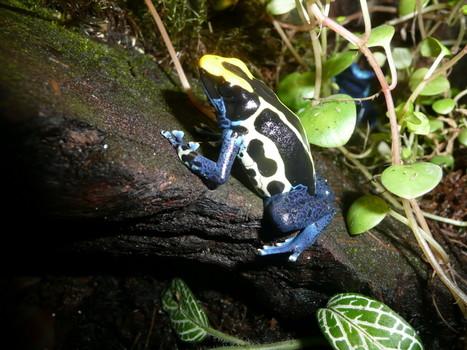 Poison dart frog (Dendrobates tinctorius)