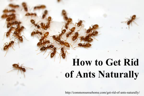 Here Are The Top 10 Ways To Get Rid Of Ants Naturally