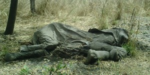 Elephant poached by Sudanese Janjaweed militia in Boub-Njida National Park, Cameroon. Image coutresy of Wikimedia Commons.