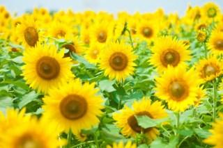 成田ゆめ牧場ひまわり迷路の見ごろと開花状況!おすすめの限定メニューは?