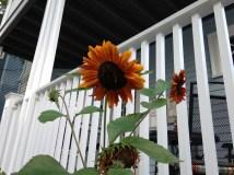 neighborhood sunflowers