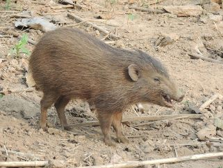 Small brown pygmy hog standing in dirt and dry grass