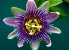 passionflower-300x219