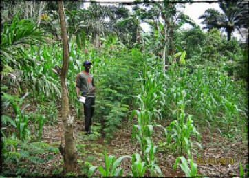 An example of a young alley cropping system on a slope in Cameroon. The nitrogen-fixing species planted in a row will be coppiced (pruned) and their leaves will be left on the soil to decompose and add nitrogen to the soil for the corn crop. Photo taken in western Cameroon, 2010 by Catherine Bukowski
