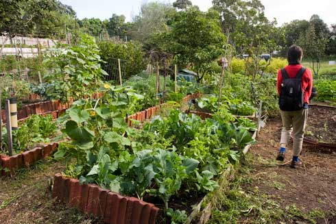 As in other Sydney Inner West and Eastern Suburbs community gardens, roofing tile seconds have been obtained from manufacturers for use as durable, weed-resistant garden edges in Glovers Community Garden. The diversity of herb and vegetable crops in the beds are visible in this picture.
