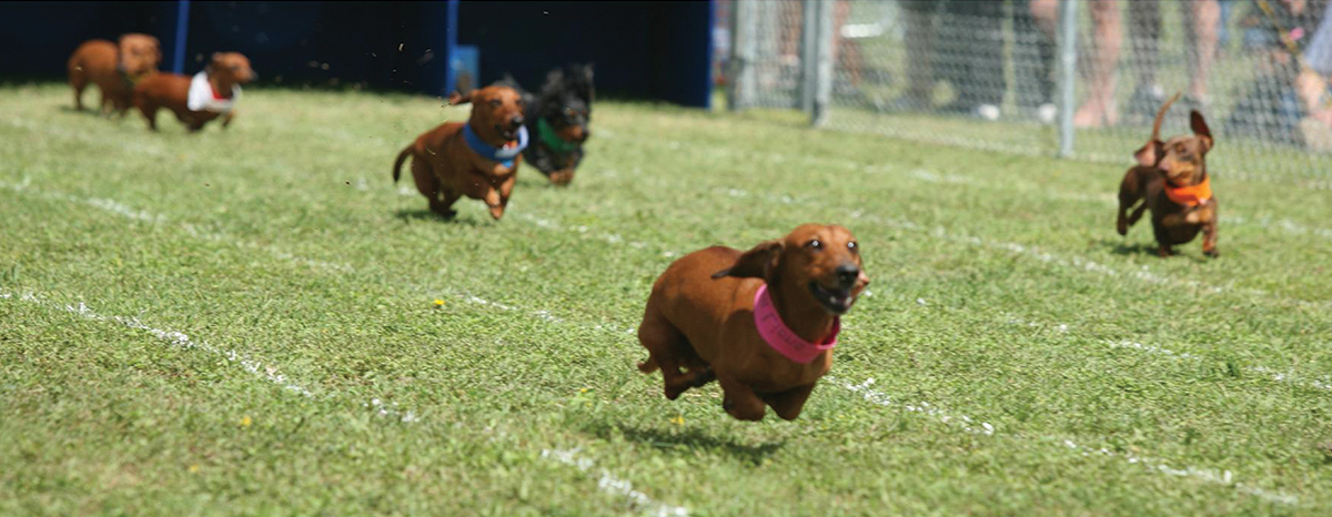 Wiener dogs compete at last year's races. This year's event takes place April 26–27 at Buda City Park.