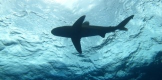 A team of scientists works to discover behaviors of oceanic whitetip sharks
