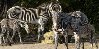 Two endangered Grevy's zebras born at Zoo Miami