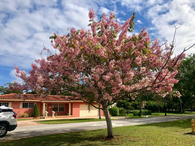 Cassia tree in bloom in Coral Gables