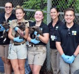 Three African Painted Dog puppies born at Zoo Miami