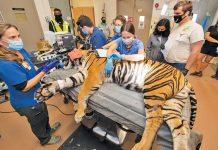 Zoo's 13-year-old Sumatran tiger undergoes reproductive evaluation