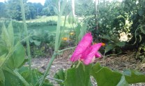 A pea flower