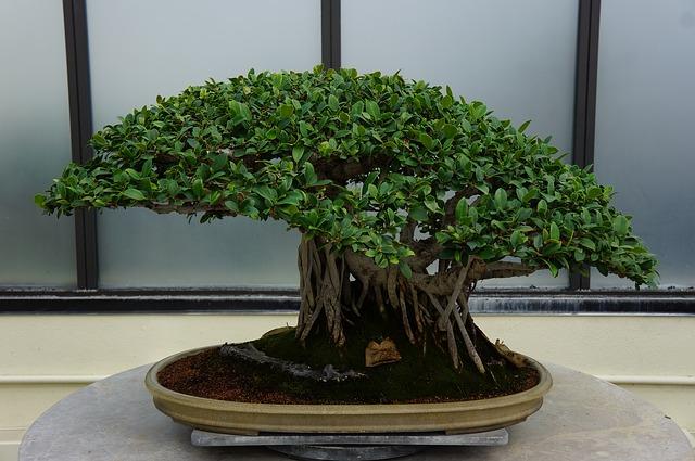 Como plantar un bonsai en todo su esplendor como plantar for Como cultivar bonsais