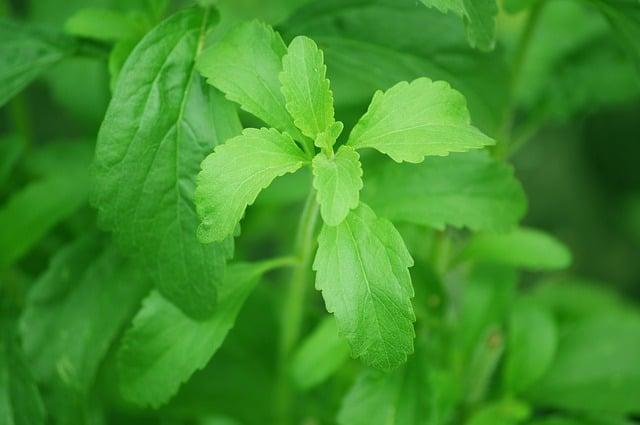 Como cultivar stevia