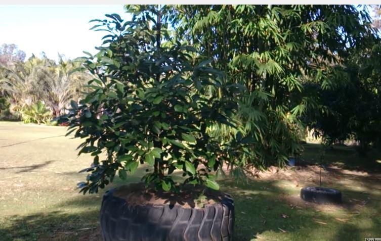 Como sembrar aguacates germinacion y plantacion como for Arbol con raices y frutos