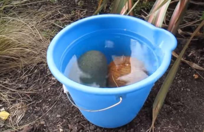 como plantar cocos