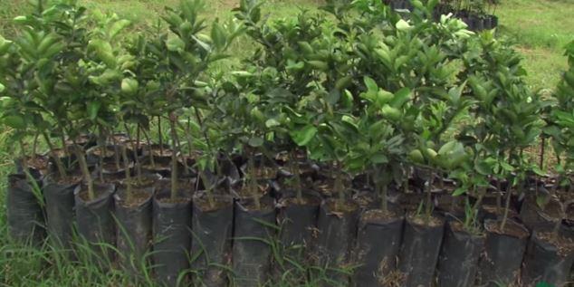 como plantar naranjas