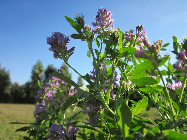 Como sembrar alfalfa: Cultivo, cuidados y cosecha - Como Plantar