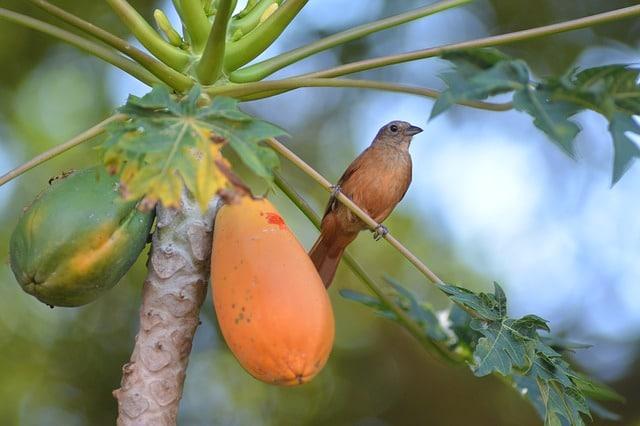 como sembrar papayas