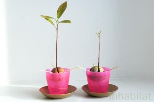 como sembrar aguacates: germinacion y plantacion - como plantar
