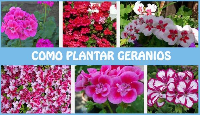 como plantar geranios