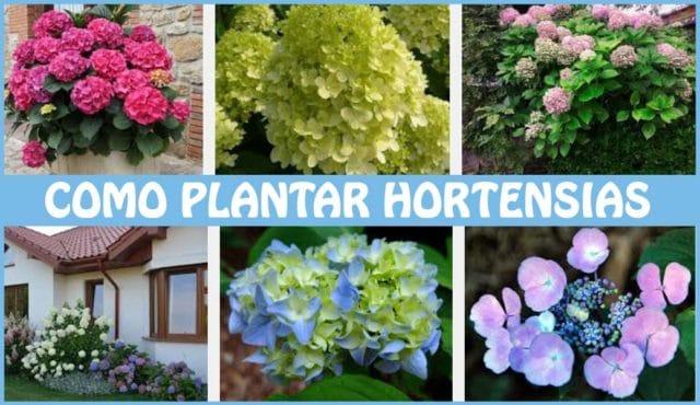 como plantar hortensias