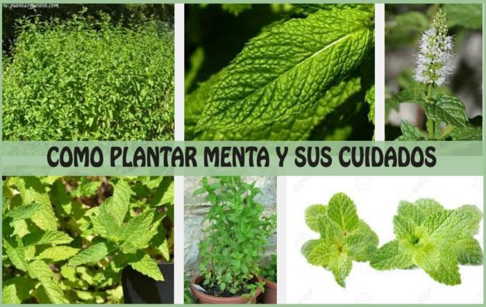 como plantar menta