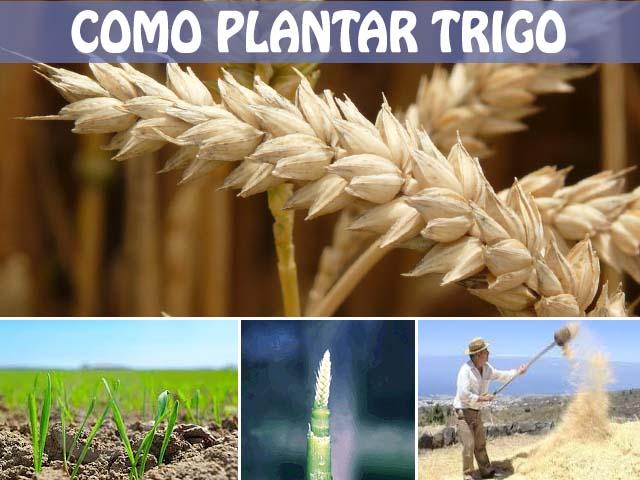 como plantar trigo