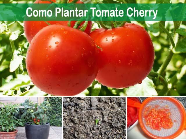 Como plantar tomate cherry sus cuidados y cosechar los frutos - Cuando plantar tomates ...