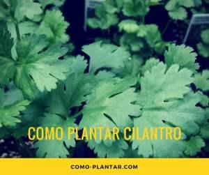como plantar cilantro