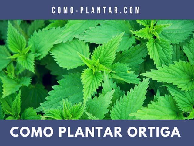 como plantar ortiga