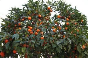 arboles-frutales
