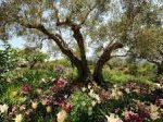 Como plantar un olivo en nuestro jardín