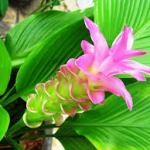 Como plantar Curcuma en una maceta