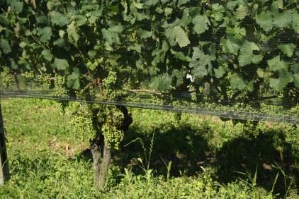 Merlot - Canton Ticino's favourite