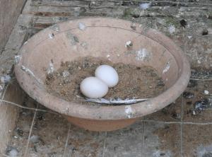 dois ovos