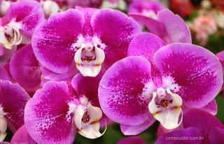 Como cuidar de orquídea borboleta