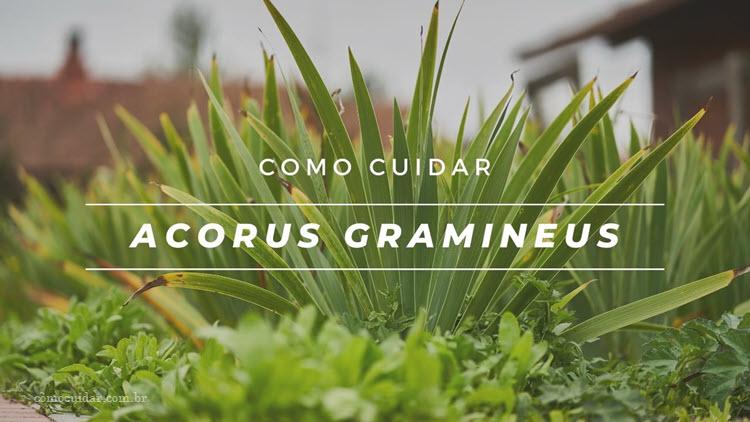 Como cuidar de acorus em vaso, Acorus gramineus
