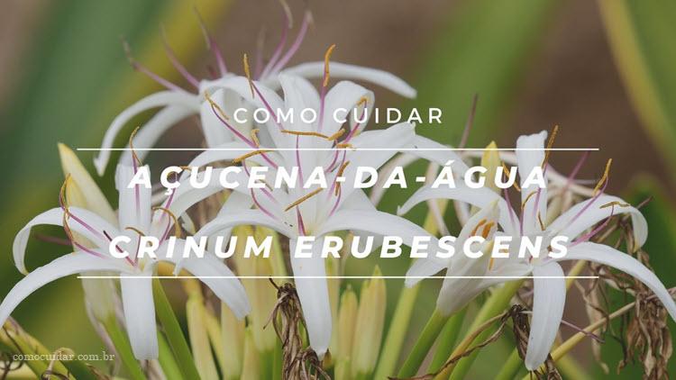 Como cuidar açucena-da-água, Crinum erubescens