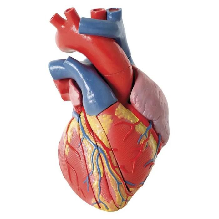Como funciona el corazón.jpg